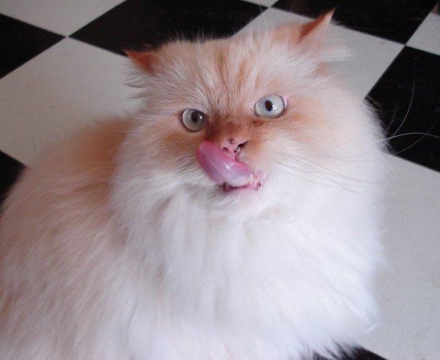 Obrázky zdarma z Ospalá Kočka. Kočka, Unavený, Zívnutí.